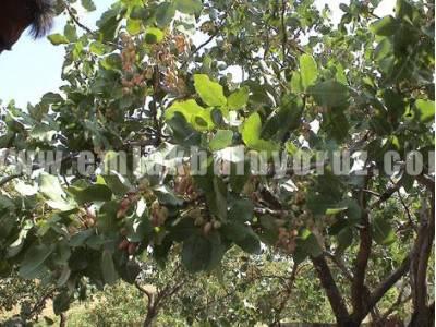 Gaziantep Akçaburç Satılık Bağ+Bahçe